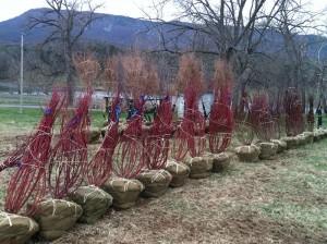 Balled and burlapped red osier dogwoods await loading on trucks