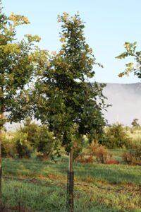 "Quercus macrocarpa, 2"", at the nursery."