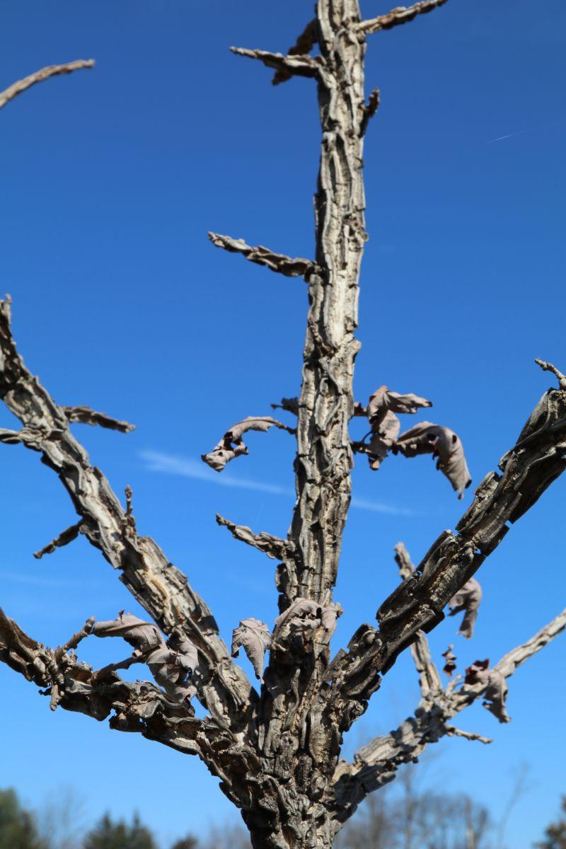Featured Native:  Bur Oak (Quercus macrocarpa)
