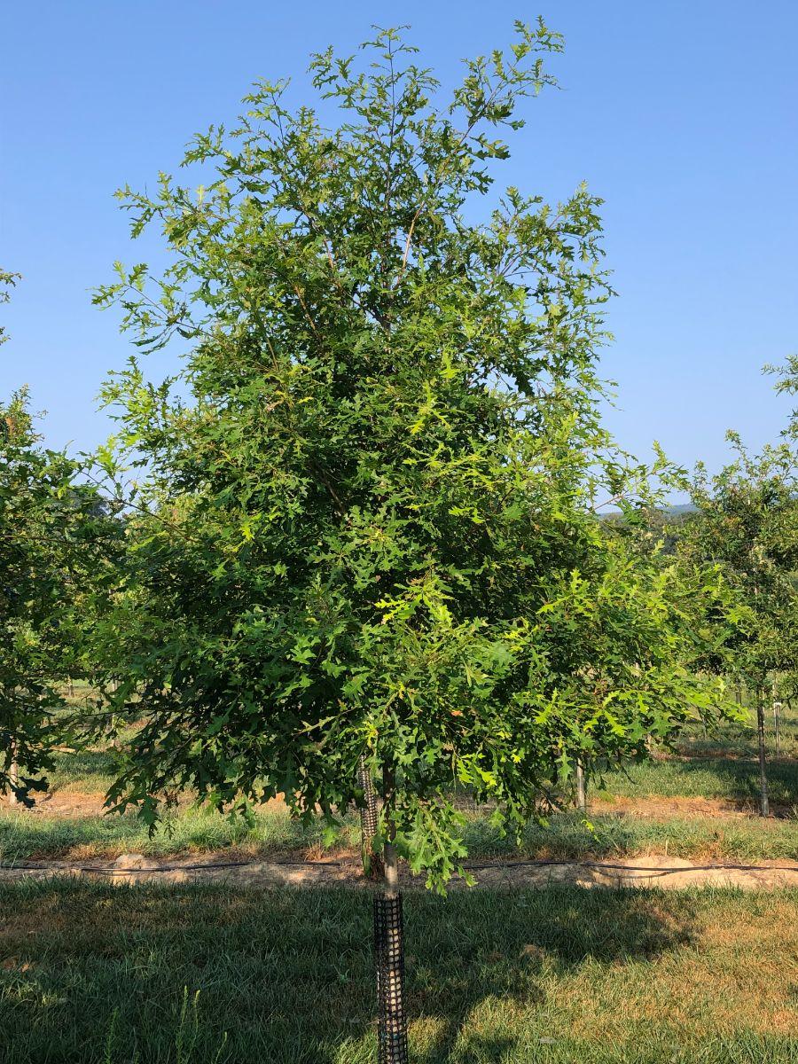 Featured Native:  Overcup Oak (Quercus lyrata)