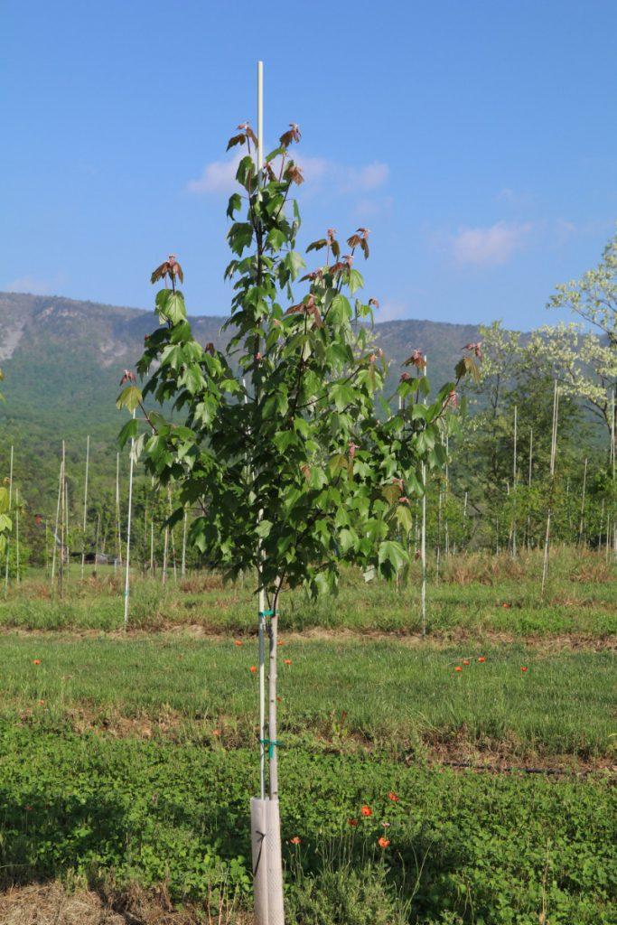 Acer rubrum; 1½ in