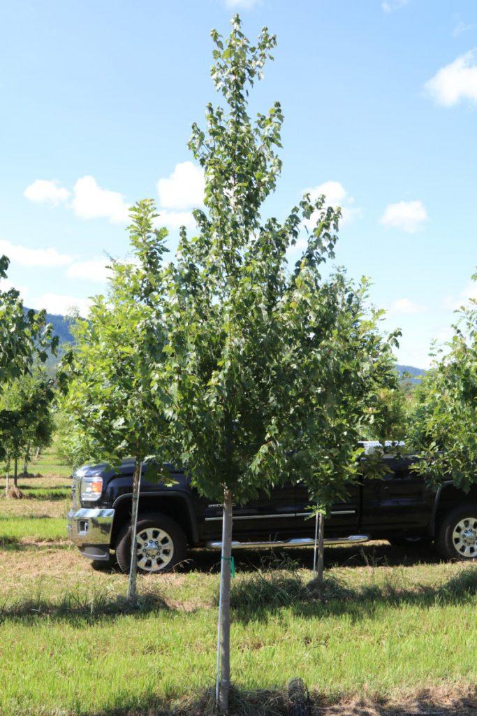 Acer rubrum; 2 in
