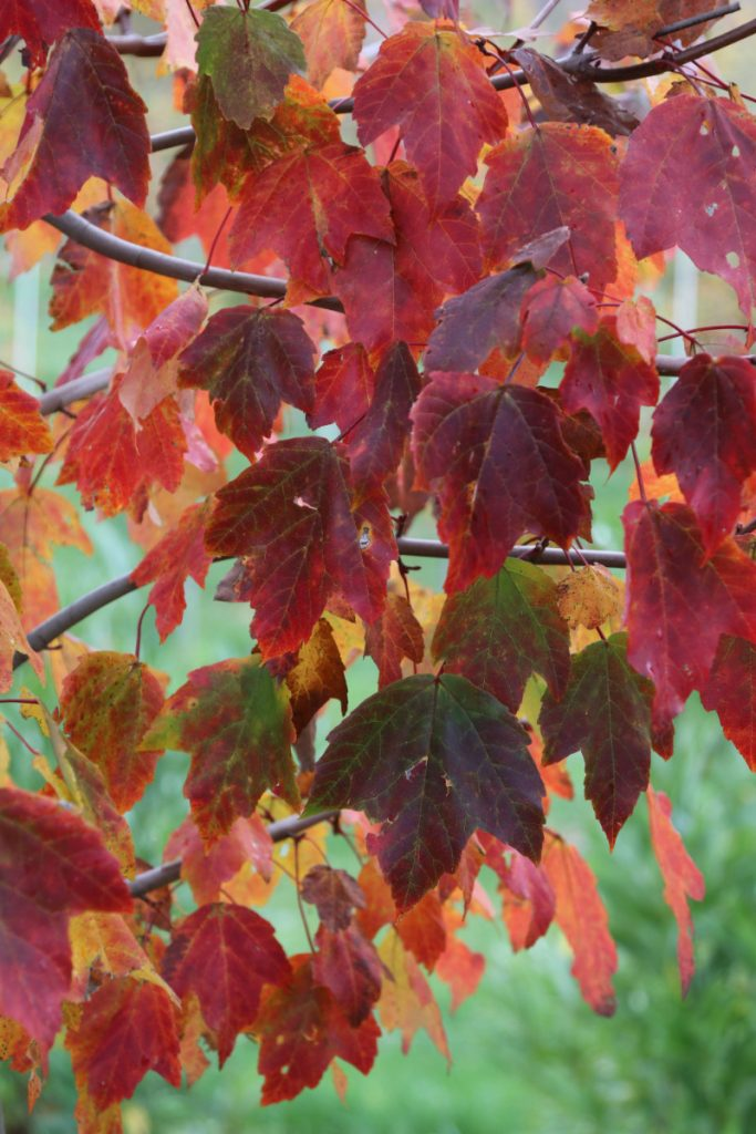 Acer rubrum, fall color detail