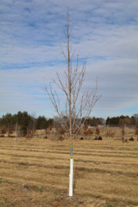 "Acer saccharum, 2½"", winter"