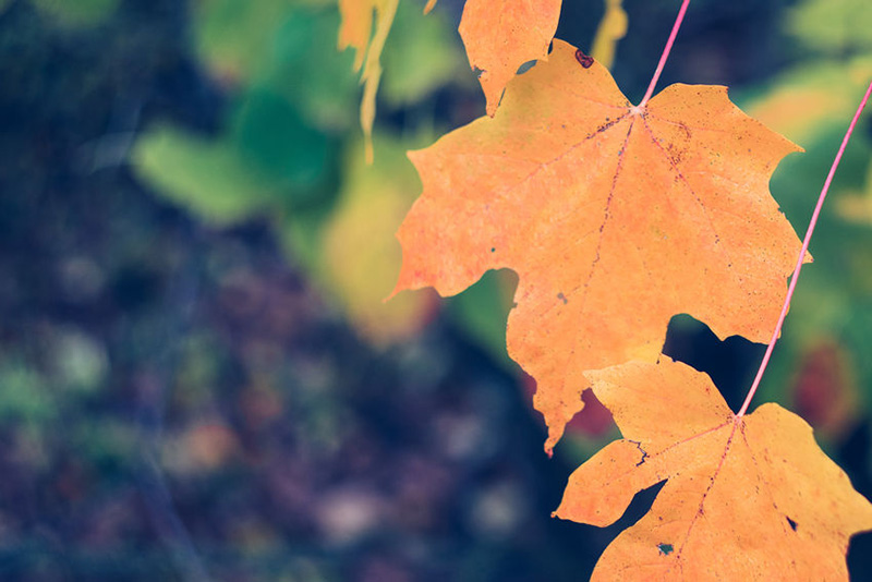 Featured Native:  Sugar Maple (Acer saccharum)