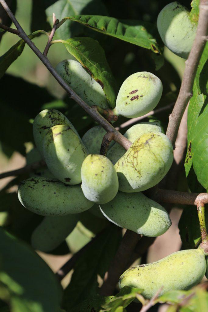 Asimina triloba; fruit detail
