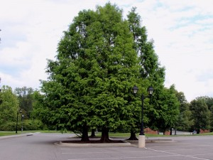 Bald Cypress in parking area - Lewis Ginter Botanical Garden - Richmond, VARS