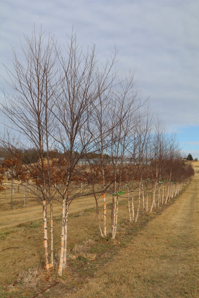 Betula nigra; 12-14 ft, five-stem