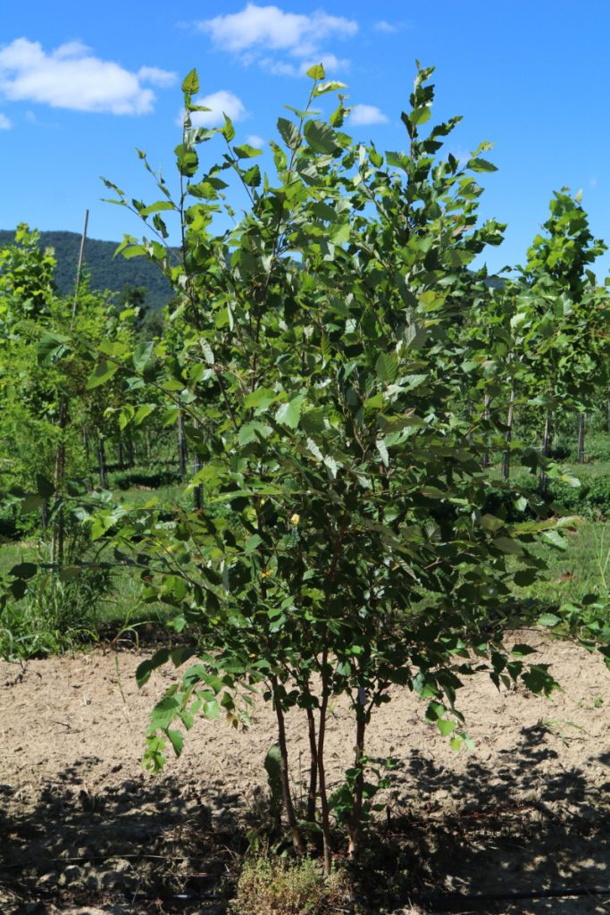 Betula nigra; 5-6 ft, 4-stem. Spring 2017 liner