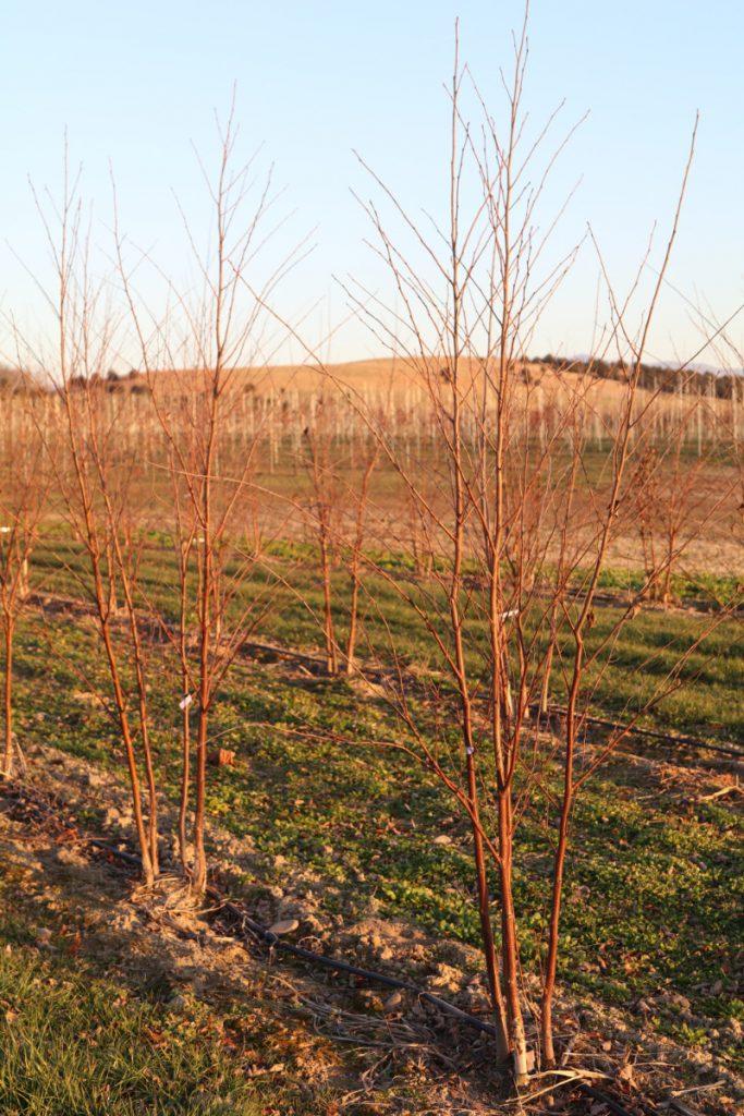 Betula nigra; 6-8 ft, spring 2017 liners