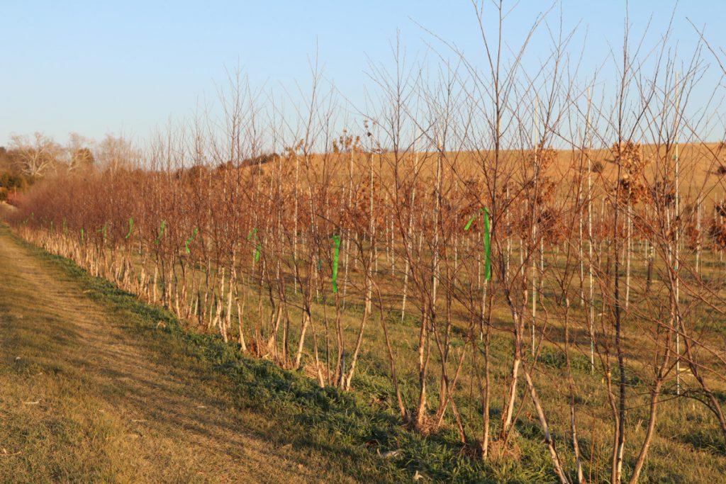 Betula nigra; 8-10 ft, five-stem