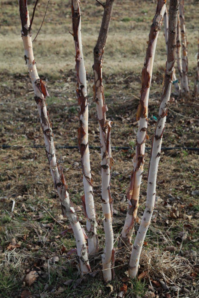 Betula nigra; five-stem detail
