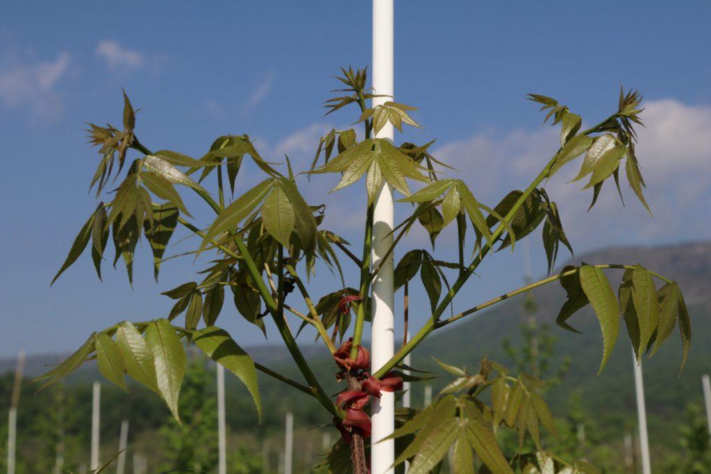 Carya glabra; new growth