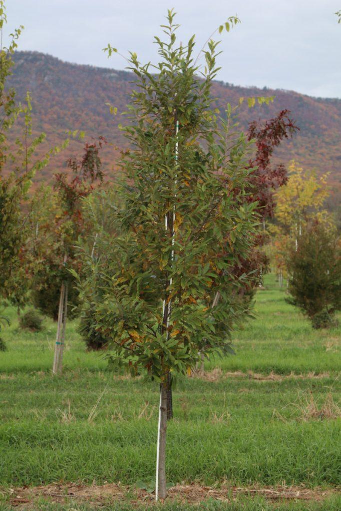 Castanea pumila; 2 in