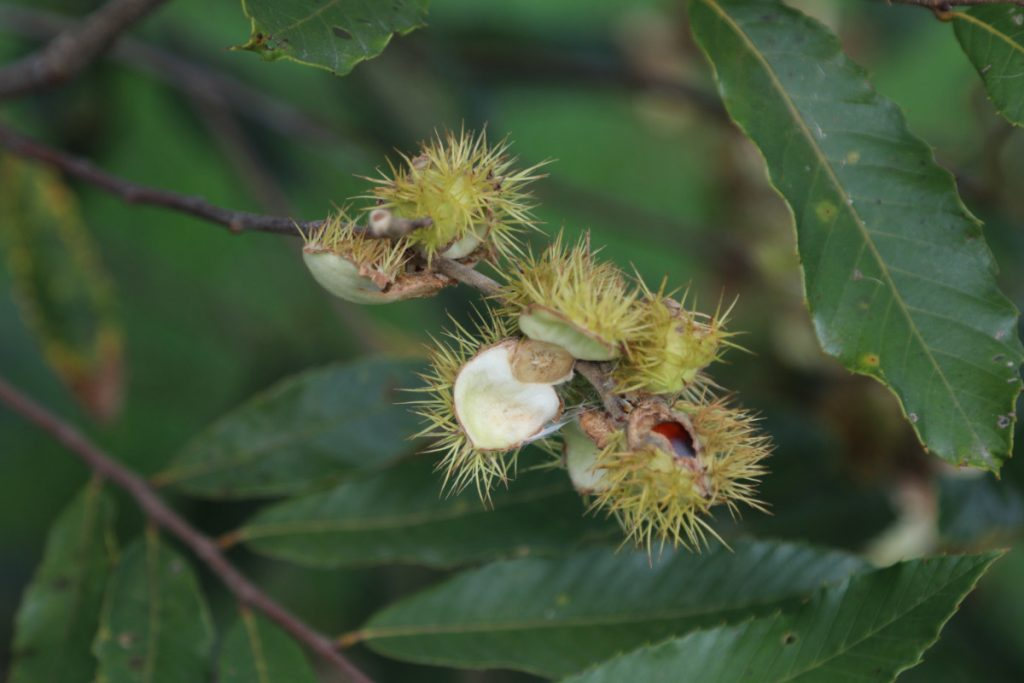 Castanea pumila, fruit detail