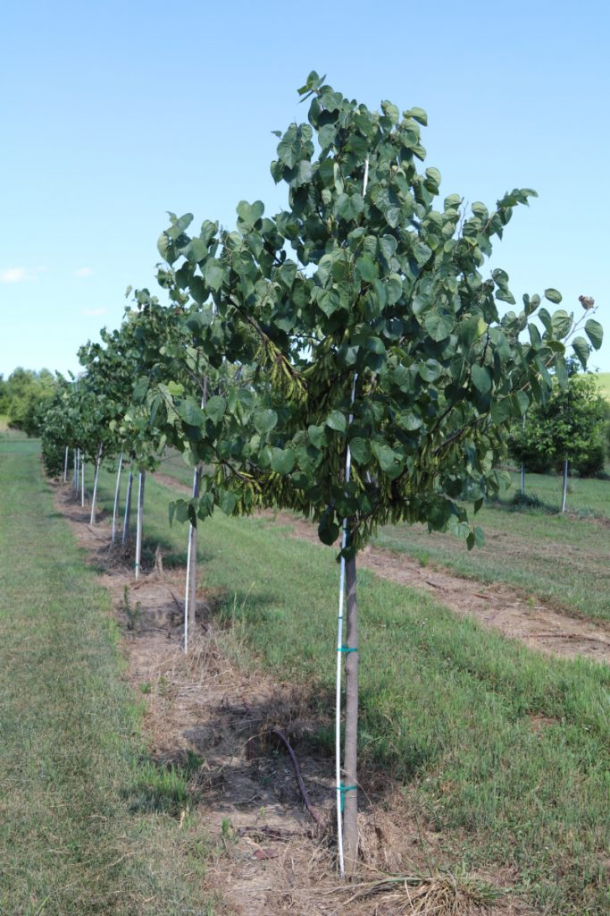 Cercis canadensis; 2 in