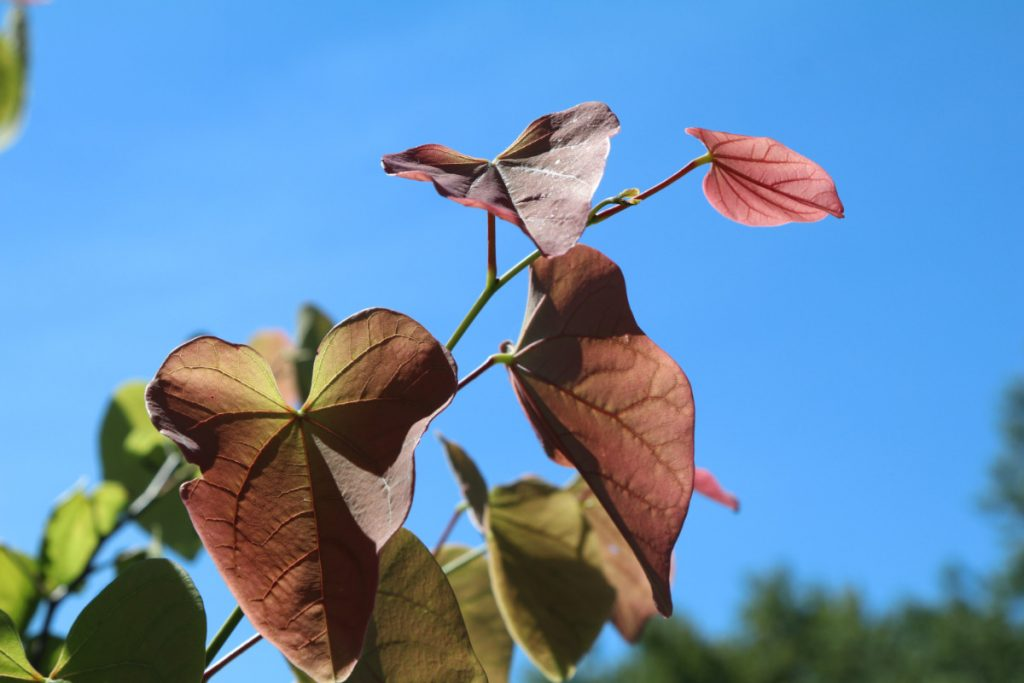Cercis canadensis, new foliage