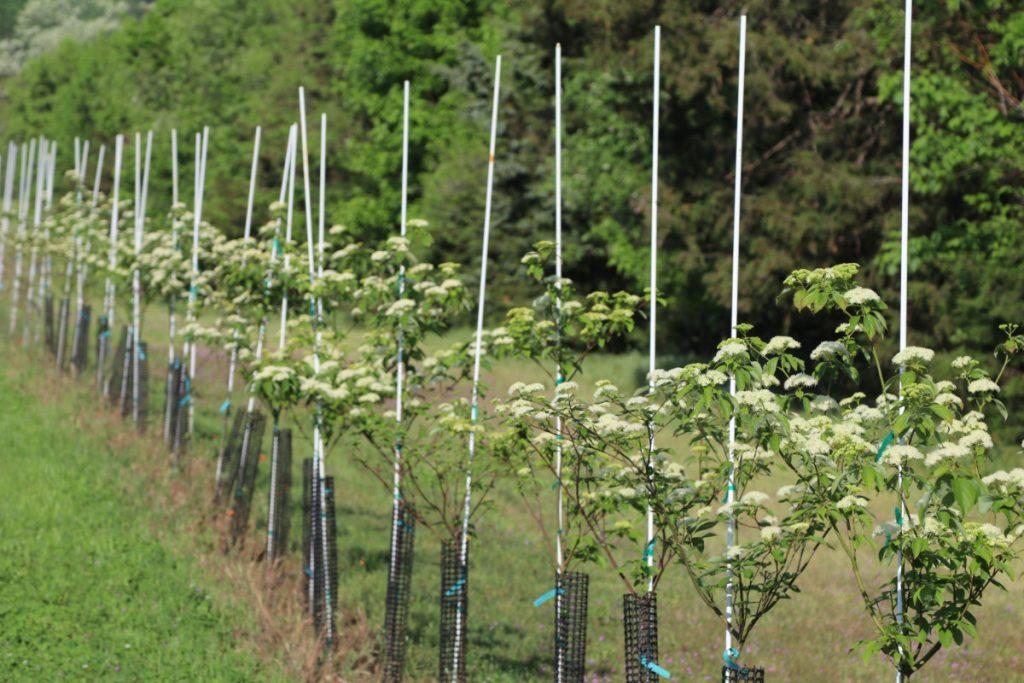 Cornus alternifolia; 5 ft