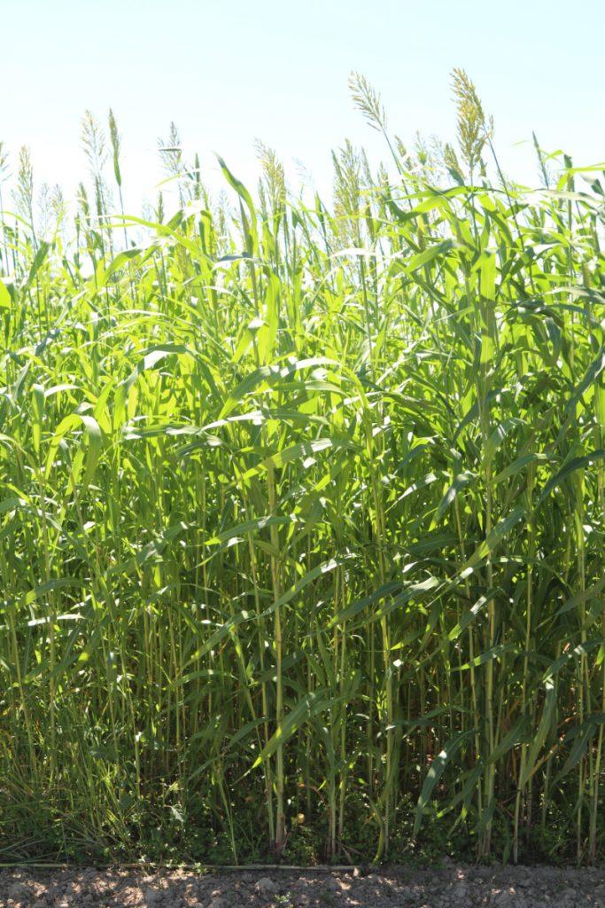 Cover crop; sudangrass