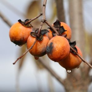 Diospyros virginiana, fruit