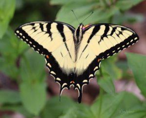 E Tiger Swallowtail rswk