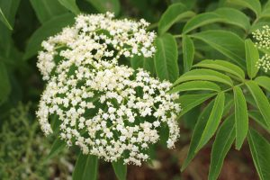 Elderberry flowers rs