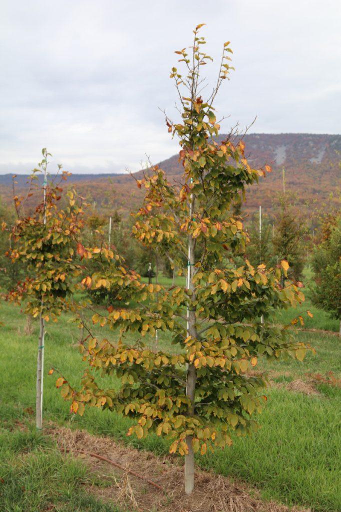 Fagus grandifolia; 2 in