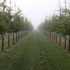 Foggy start for willow oaks
