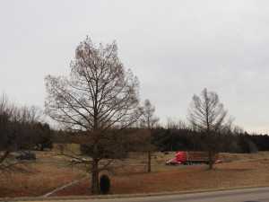 Three bald cypress in median along I-81 north of Harrisonburg, VA