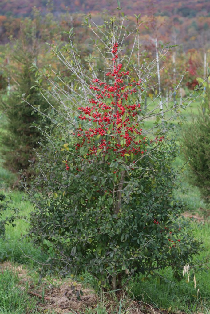Ilex decidua; 5 ft