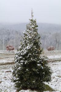 Ilex opaca in the snow.