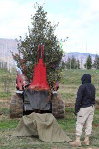 Ilex opaca, 7-8 ft being harvested.
