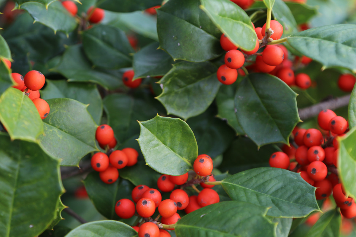 Featured Native:  American Holly (Ilex opaca)