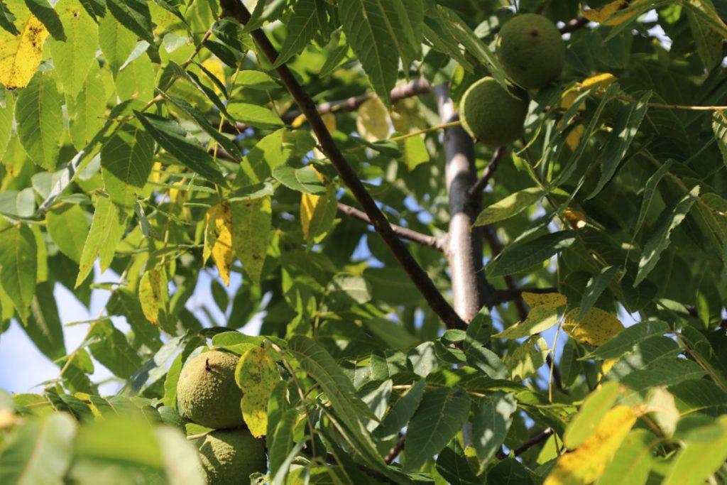 Juglans nigra; fruit detail