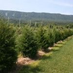 Juniper virginiana 6-7 ft row RS