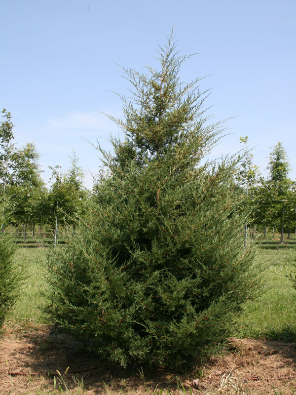 Small Cedar Tree Varieties ~ Tree of the month eastern red cedar