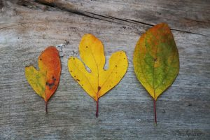Sassafras leaf-shapes