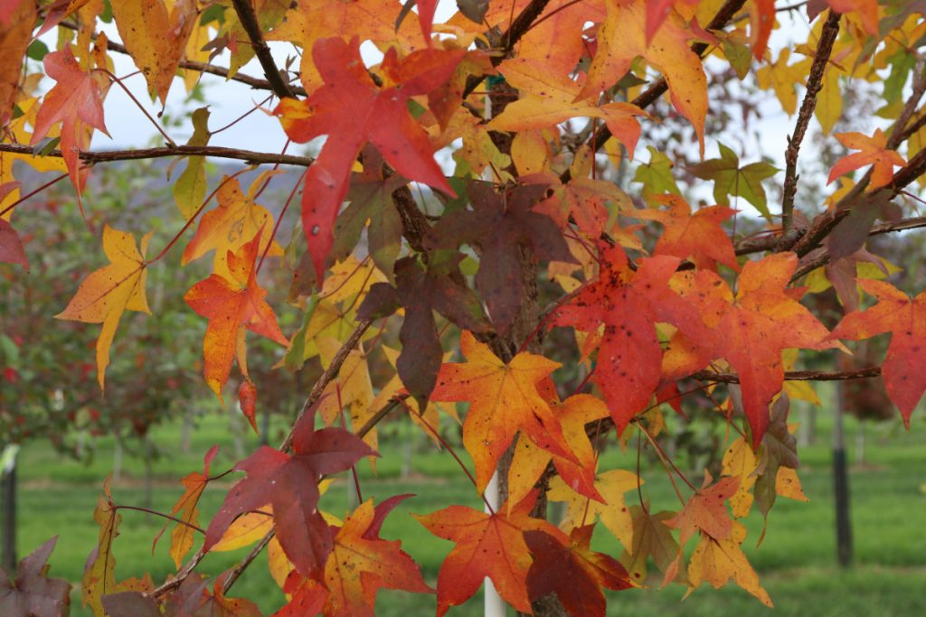 Liquidambar styraciflua, fall color