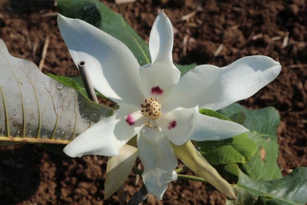 Magnolia macrophylla subsp. ashei; bloom
