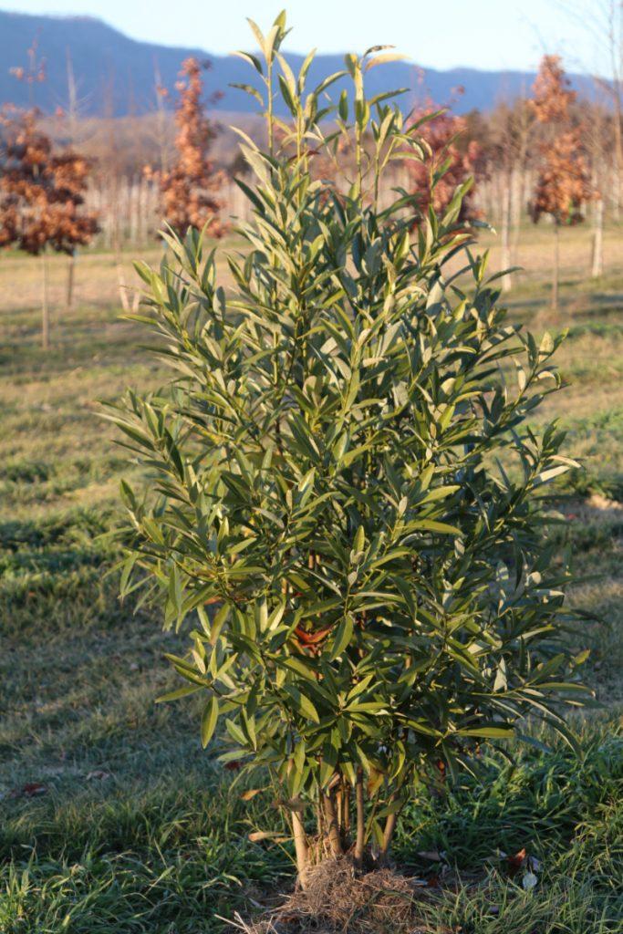 Magnolia virginiana; 5-6 ft