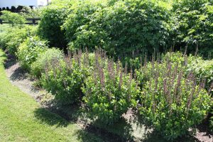 Native Planting-elderberry and indigo