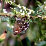Olive Hairstreak rs watermark 2