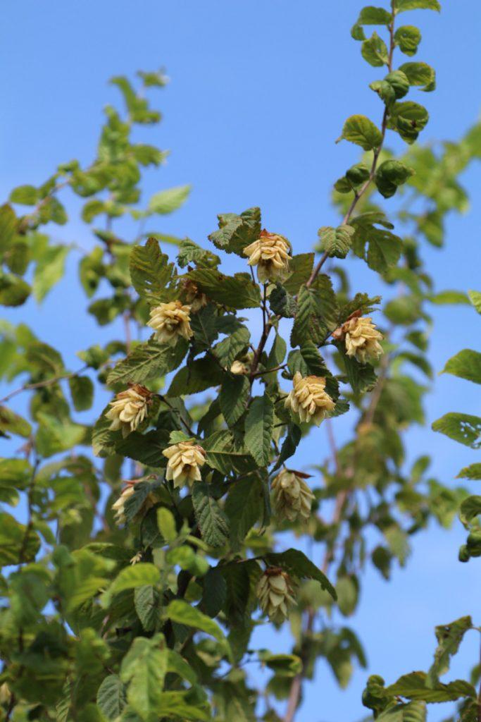 Ostrya virginica; fruit detail