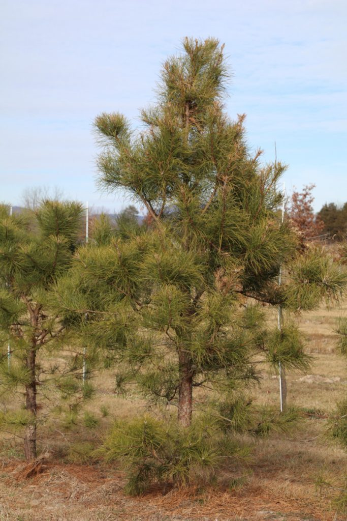 Pinus rigida; 8 ft