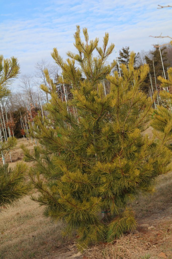 Pinus virginiana; 6-7 ft
