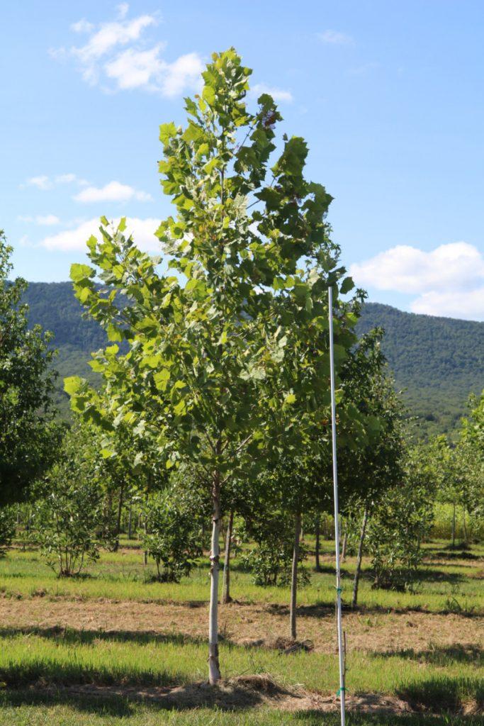 Platanus occidentalis; 3 in