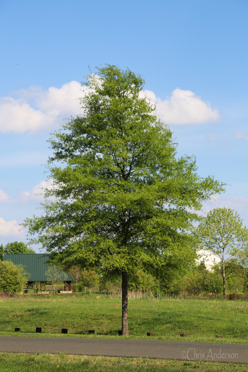 Tree of the Month - Willow Oak (Quercus phellos) -