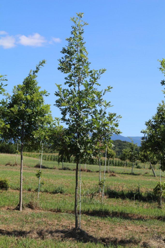 Quercus alba; 2 in