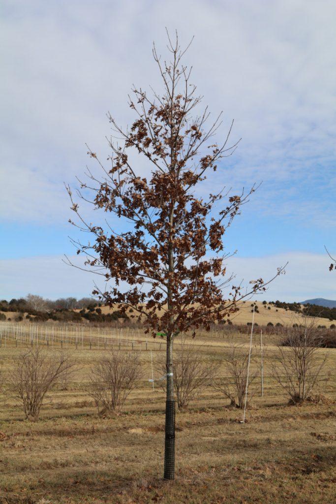 Quercus alba; 3½ in