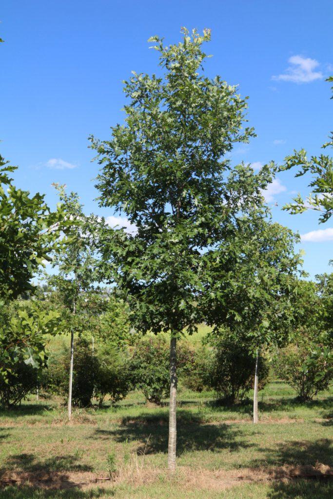 Quercus alba; 3 in